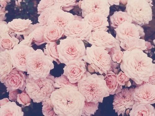 Minoo #blush #photography #flowers