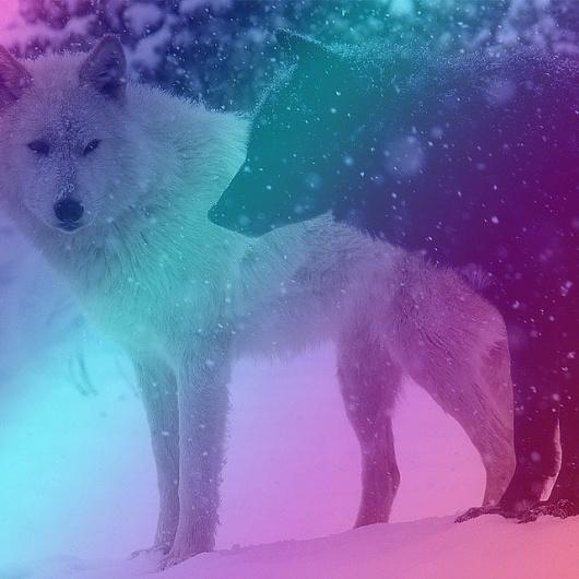 All sizes | Untitled | Flickr - Photo Sharing! #white #magenta #snow #black #gradient #wolf #blue