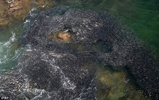 Japan earthquake: Swarms of fish off coast of Acapulco caused by tsunami? | Mail Online #fish #acapulco #nature #odd #tsunami