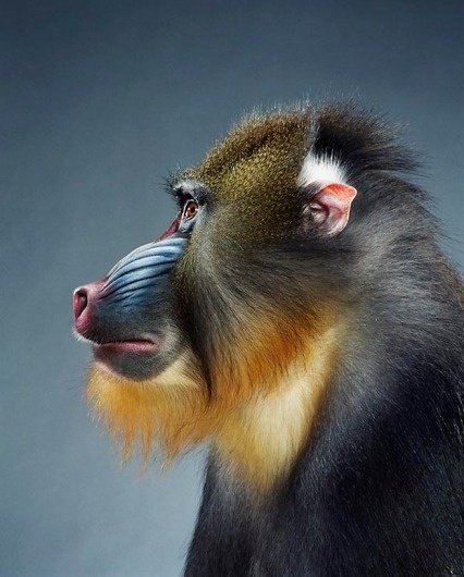 Screen-shot-2011-02-03-at-09.54.21.png 623×774 pixels #photography #monkey