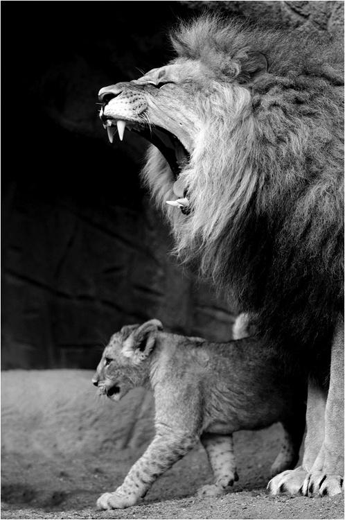 (2) Likes | Tumblr #lion #pride