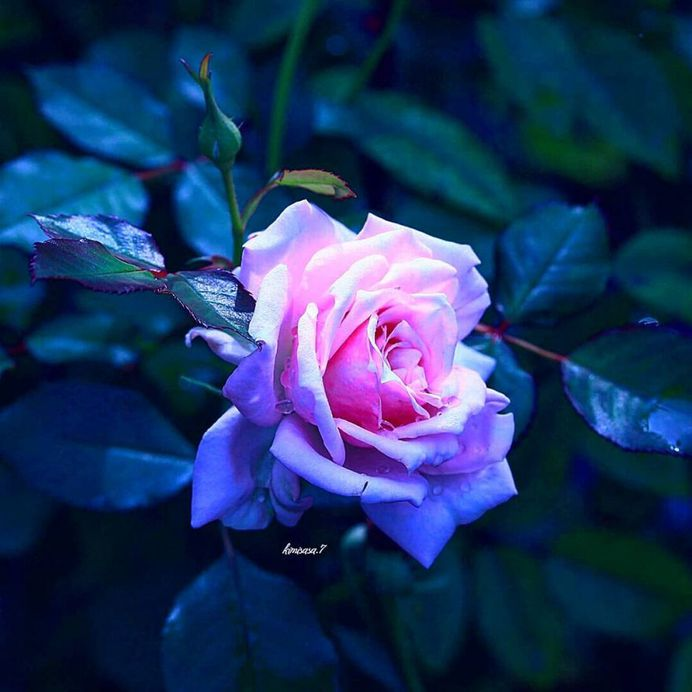 #total_roses: Beautiful Pictures of Roses by Kimi Sasa
