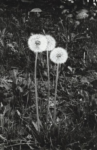 guardo le figure #white #35mm #black #photography #dandelion #and #flowers
