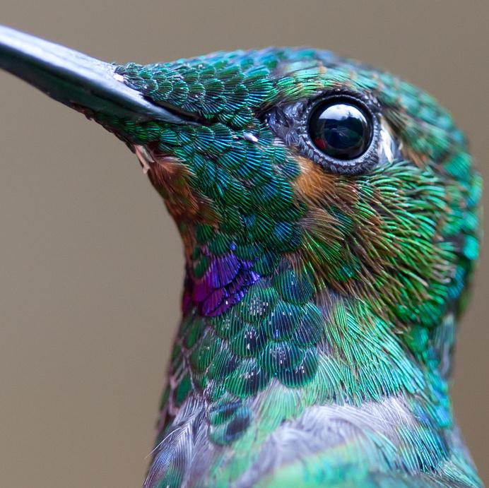 Remarkable Macro Photograph of a Hummingbird by Chris Morgan macro birds #hummingbird #flight #feather #bird #photography #animal #nature #macro #beauty