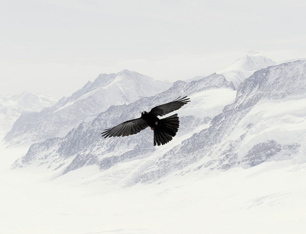 Nick Meek #snow #bird #photography #contrast #mountains