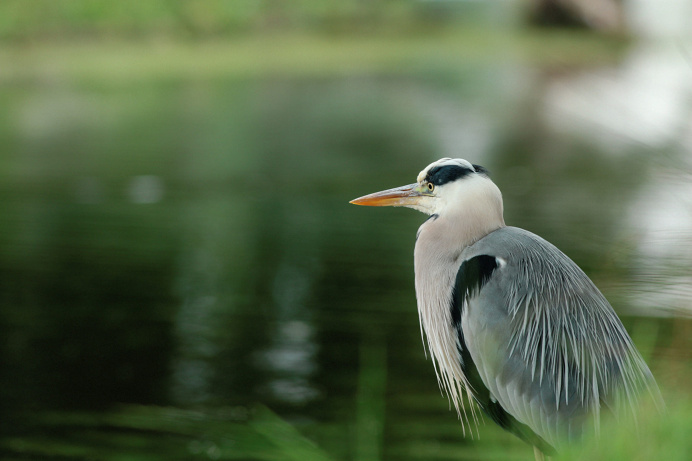 Heron Looking for Lunch