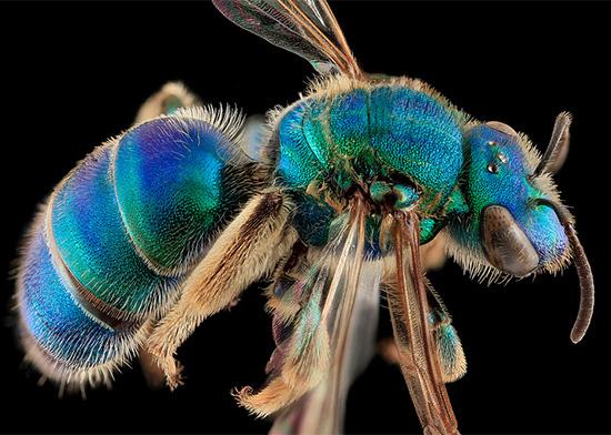 Macro Bee Portraits Photography by Sam Droege #beeMacro #MacroPhotography #InsectPhotos