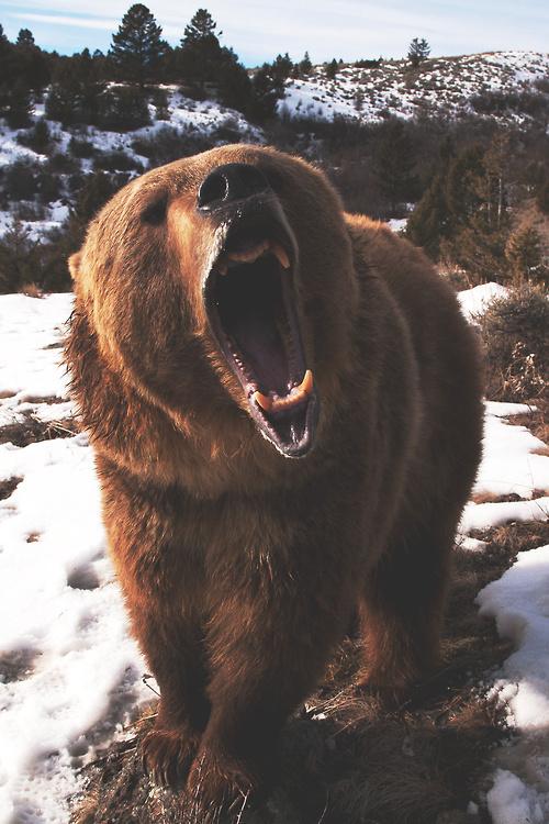 Sleepless Dreams #grizzly #teeth #roar #snow #photography #bear #animal