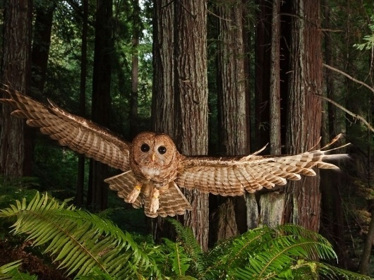 Northern Spotted Owl Photo, Redwood Forest Picture - National Geographic Photo of the Day #forest #photography #owl #damn