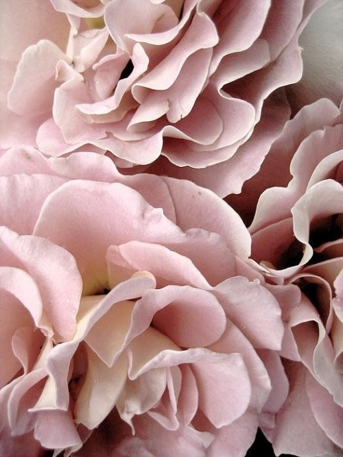 Likes | Tumblr #pink #roses