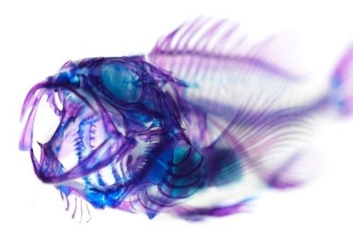 DeadFix · #ray #skeleton #fish