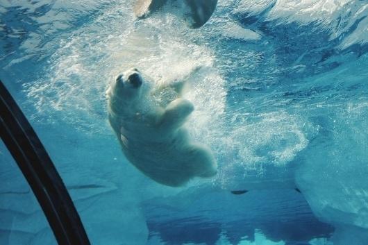 Scissors #bear #polar #dive