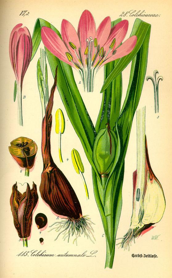 Illustration: Colchicum autumnale #wilhelm #flora #thom #biology #print #fauna #otto #dr #illustration #and