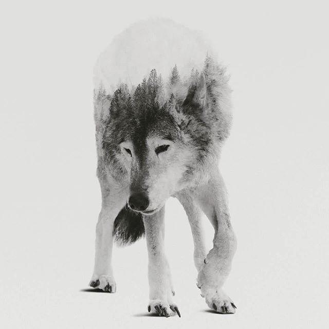 composite design, collage, wolf, illustration