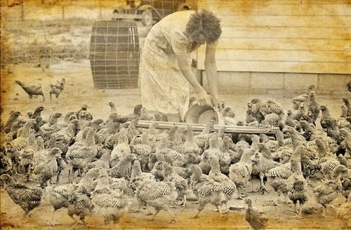 Ameraucana - Vintage photograph. Woman feeding chickens. date... #feeding #woman #photograph #vintage #chickens