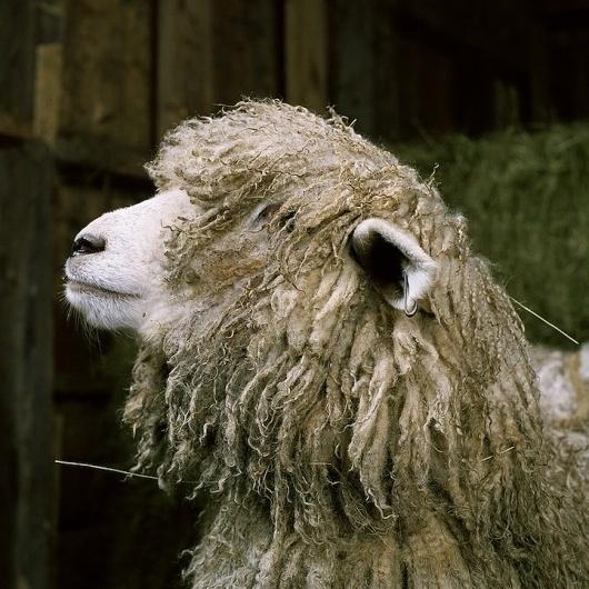 Fantastic Portraits of Farm Animals - My Modern Metropolis #sheep #animal