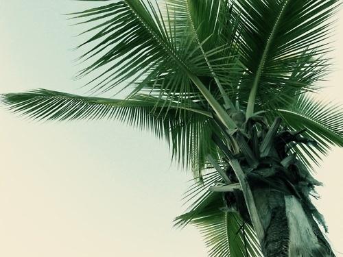Merde! - Photography (Palmier, avec Petit-Maître, 2011) #photography #palm #tree