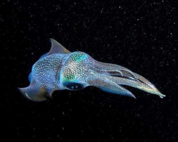 35 Most Spectacular Wildlife Photos #ocean #bioluminescence #cuttlefish #photography #deep #sea #squid #glow #mollusc #underwater #neon