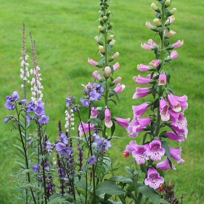 Linaria vulgaris flower picture
