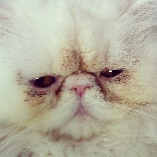 @michaelmartinho | Webstagram - the best Instagram viewer #wild #kitten #beast #persian #cat #kitty #animal #baxter