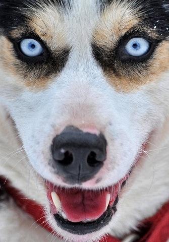 FFFFOUND! | Iditarod Trail Sled Dog Race 2012 - The Big Picture - Boston.com #dog