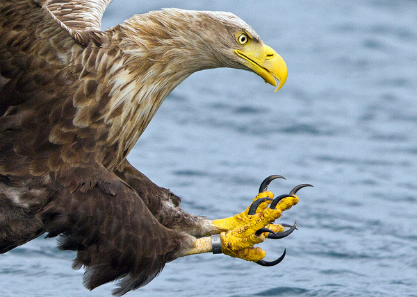 All sizes | White Tailed Eagle, Mull (cropped) | Flickr Photo Sharing! #talons #water #hunter #claws #eagle #hunting
