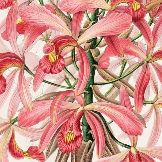 Tutte le dimensioni  Laelia superbiens   Flickr – Condivisione di foto! #flower #illustration