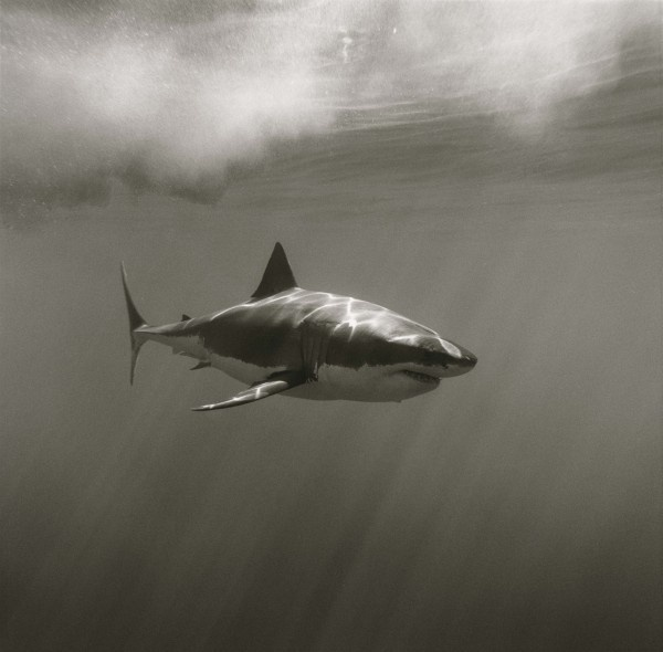 Shark Carcaradon by Greg Williams © 2013 Greg Williams Insight.com. All Rights Reserved. #ocean #white #hunter #predator #fish #black #shark #jaws #photography #sea #and #great #underwater