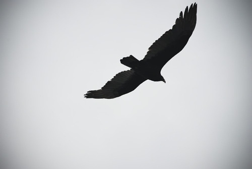 Coyote Blood #vulture #soaring #flying
