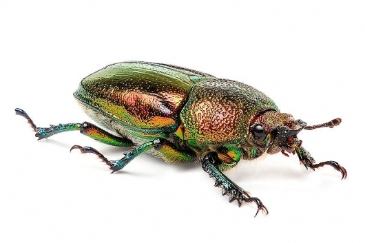 File:Female Golden Stag Beetle.jpg - Wikipedia, the free encyclopedia #iridescence #bug #beetle #stag #golden