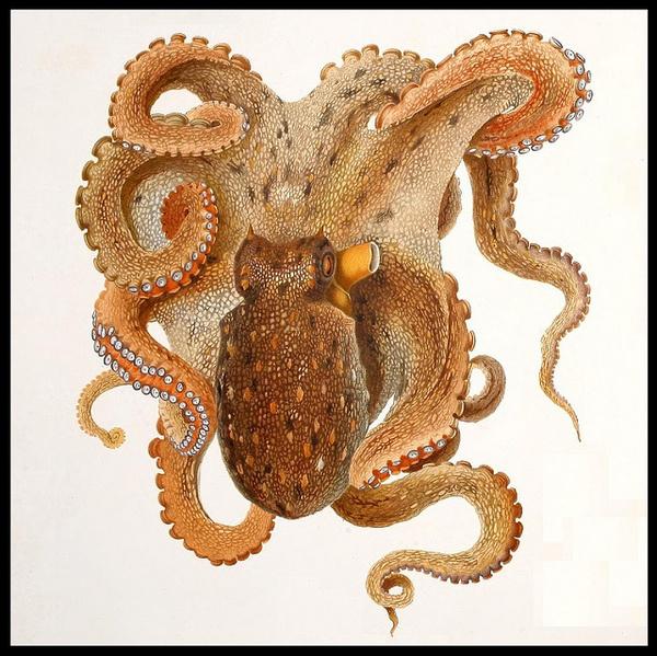 Octopus #mollusca #illustration #vintage #octopus