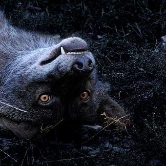 Photocase - creative stock photos nature fear environment set of teeth coat wild animal Dragon30 #sach #sebastian #black #photography #wolf