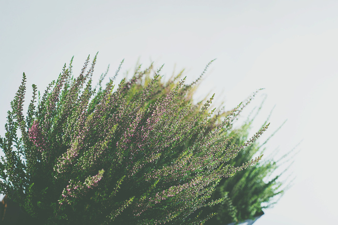 heather5.jpg #plants #photography #studio #foiliage #flowers