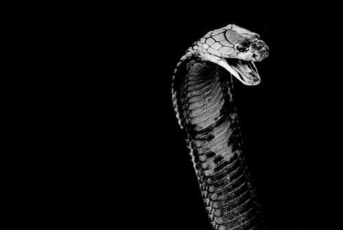 YIMMY'S YAYO™ #cobra #snake