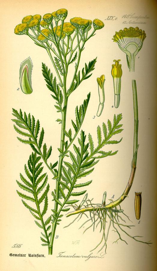 Illustration: Tanacetum vulgare #wilhelm #flora #thom #biology #print #fauna #otto #dr #illustration #and