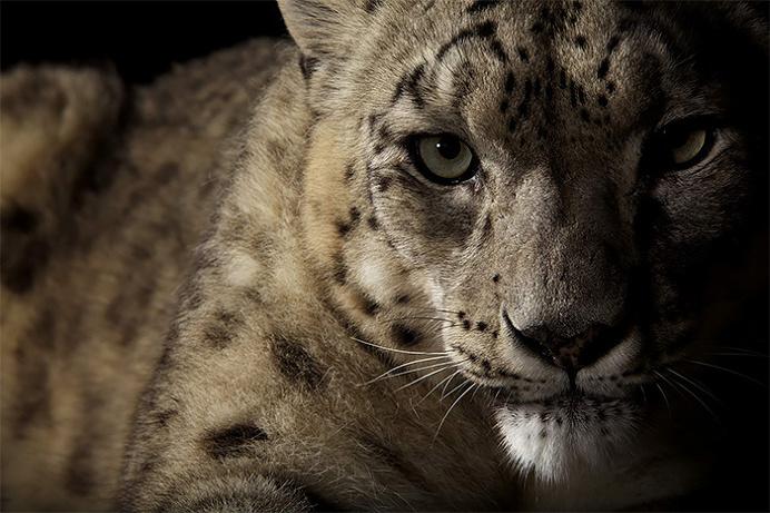 Wild Big Cat Portraits by Vincent J. Musi #Animals #wildPhotos #AnimalPortraits