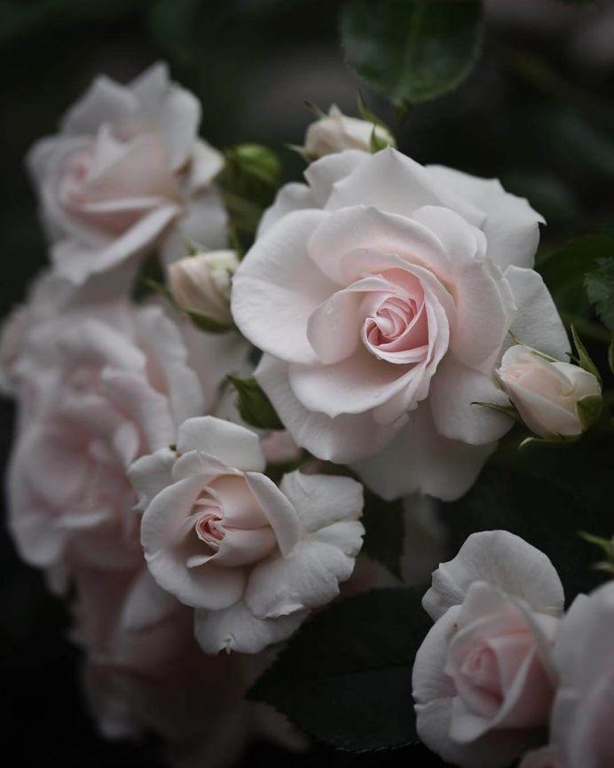 Fabulous shot of white rose by Miwako