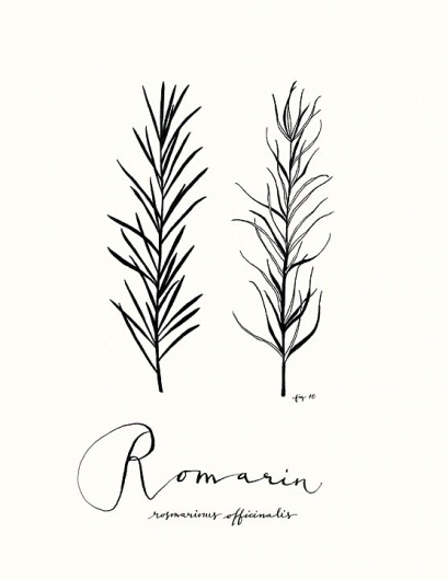 All sizes | Romarin | Flickr - Photo Sharing! #eva #illustration #juliet #rosemary #drawing #leaves