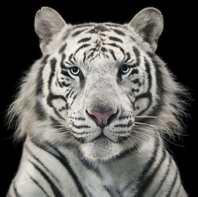 More Than Human - Tim Flach #tiger #photography #animals