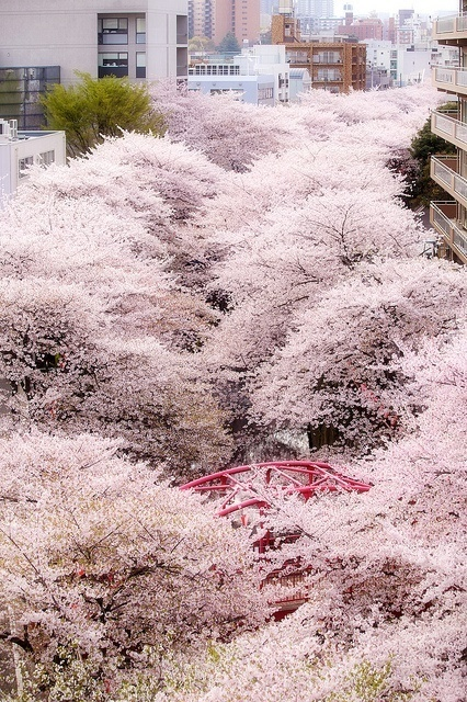all of your world:中目黒・桜 by u_ran2008Cherry Blossoms in Tokyo, Japan #japan #tokyo