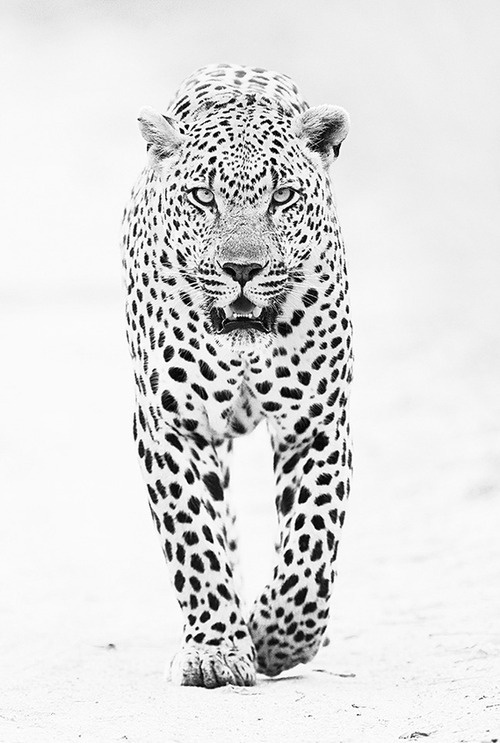 CJWHO ™ (male leopard by shaun walton A large male leopard...) #leopard #amazing #shaun #white #walton #and #black #photography #fav #animals