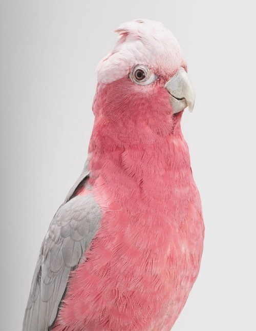 Photography #pink #feathers #bird #photography #animal