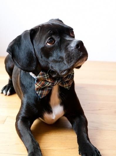 Blue Tartan Bow Tie Dog Collar by SillyBuddy on Etsy #dog #silly #bow #cute #sad #tie
