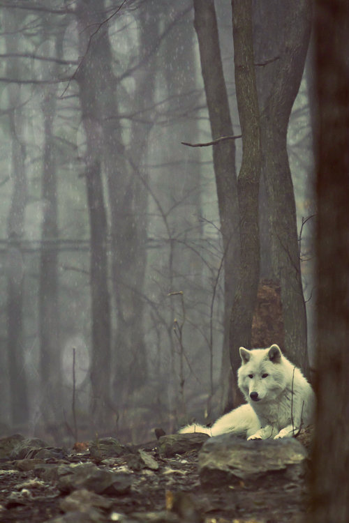free #woods #canine #photography #wolf #forest #animal #trees #dog