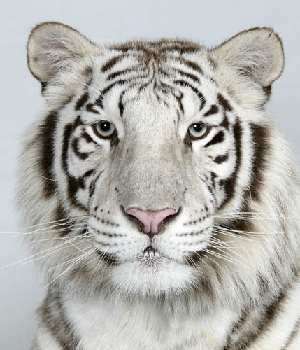 In pictures: The four faces of the Bengal tiger | Environment | guardian.co.uk #tiger #photography #bengal
