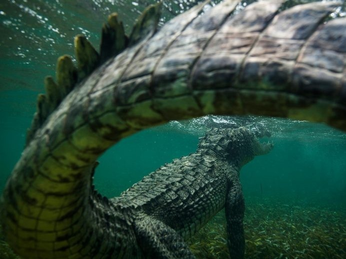 Croc Tail. August 13 PHOTOGRAPH BY MIKE KOROSTELEV, NATIONAL GEOGRAPHIC YOUR SHOT #photography #crocodile #nature #reptile #underwater #nati