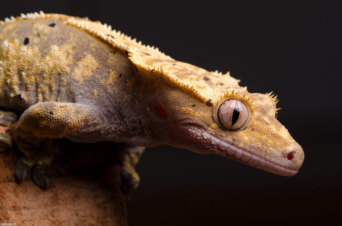 Macro Photography of Gecko Face by Nakkimo #macro photography #Gecko Photography #Animal Photography