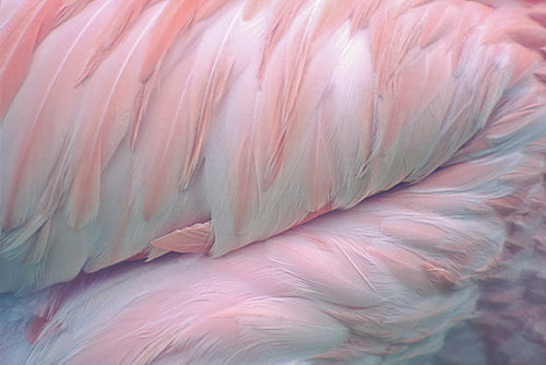 feathers #flamingo #pink #feather #bird #nature