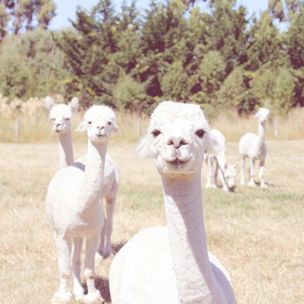 Vintage alpacas #cream #white