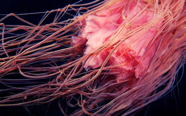 Clione #pink #photo #underwater #creature